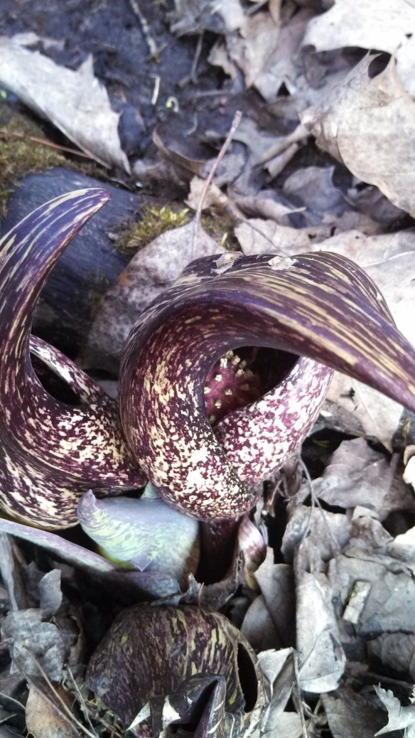 skunk cabbage 2